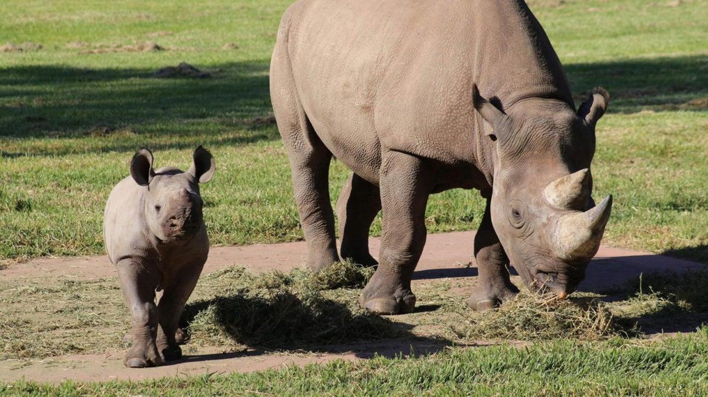 Rare Black Rhino Born at Taronga Western Plains Zoo
