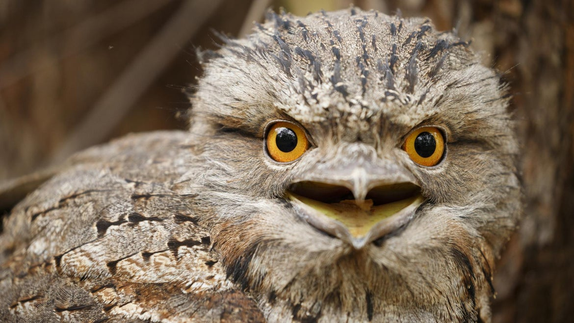 Tawny Frogmouth (Podargus strigoides) seen roosting on low fallen tree.