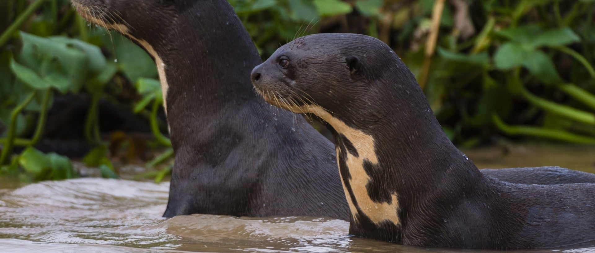 Giant river otter (Pteronura brasiliensis), Pantanal, Mato Grosso, Brazil. (Photo by: Sharpshooters/VW PICS/Universal Images Group via Getty Images)