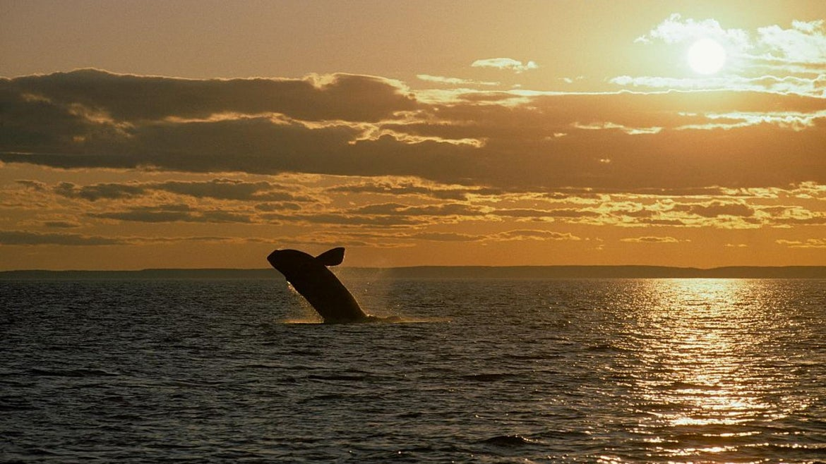 Northern Right whale.Eubalaena glacialis.Breaching at sunset, off Grand Manan Island. Bay of Fundy, New Brunswick, Canada.
