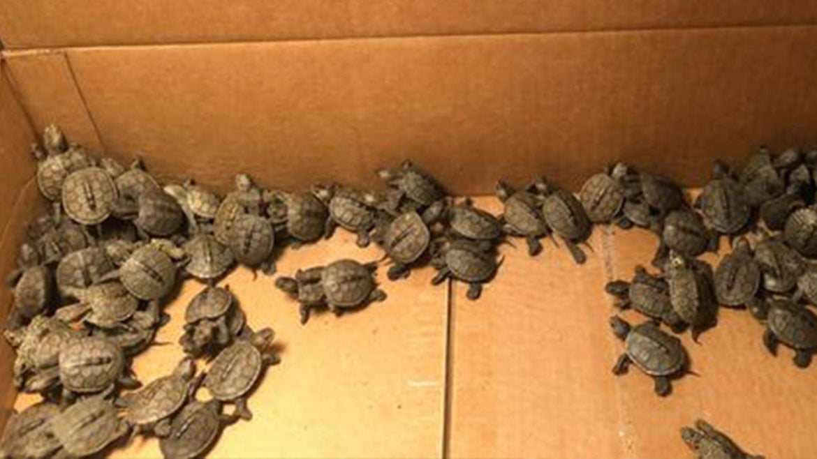More than 800 diamondback terrapin hatchlings rescued from storm drain in Jersey Shore