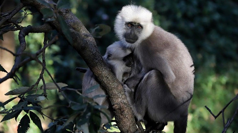 An adult vervet monkey feeds her young.