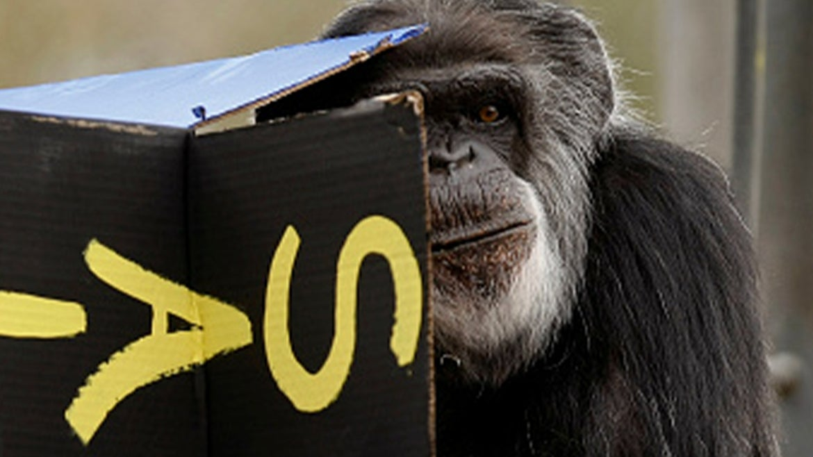 Cobby, the oldest known chimpanzee, died on Saturday at the age of 63.