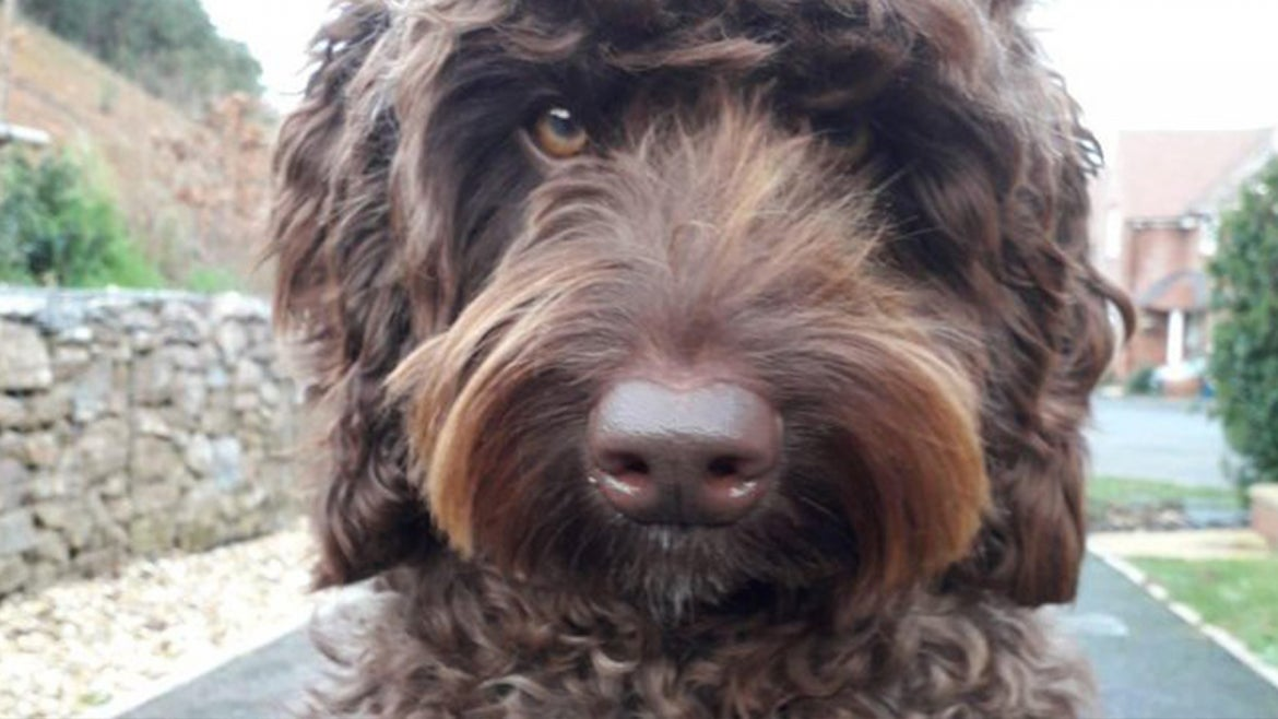 Therapy dog, Digby, 3, the labradoodle saves a young woman's life.