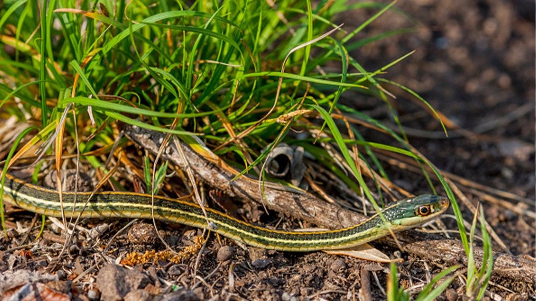 A stock image of a garter snake.