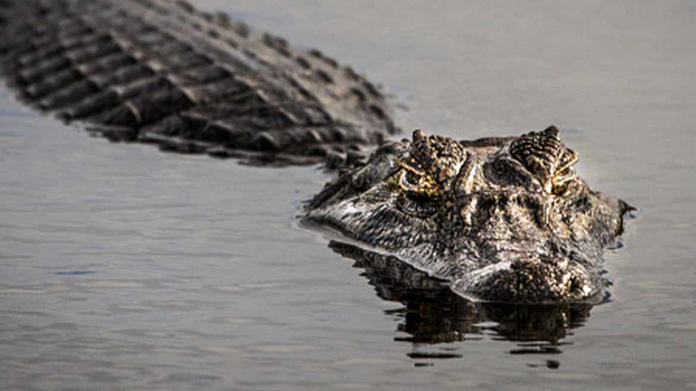 Stock image of an alligator swimming in lake.