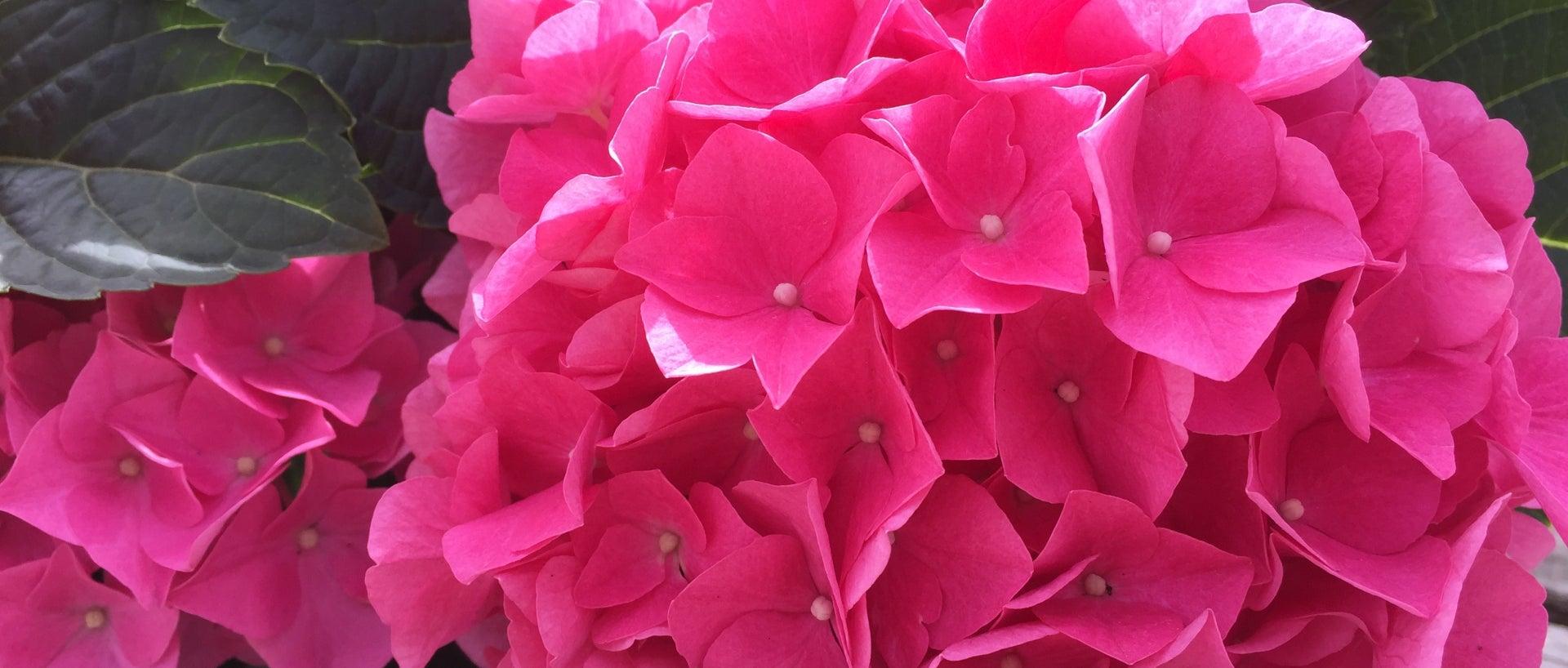 Up close pink hydrangea