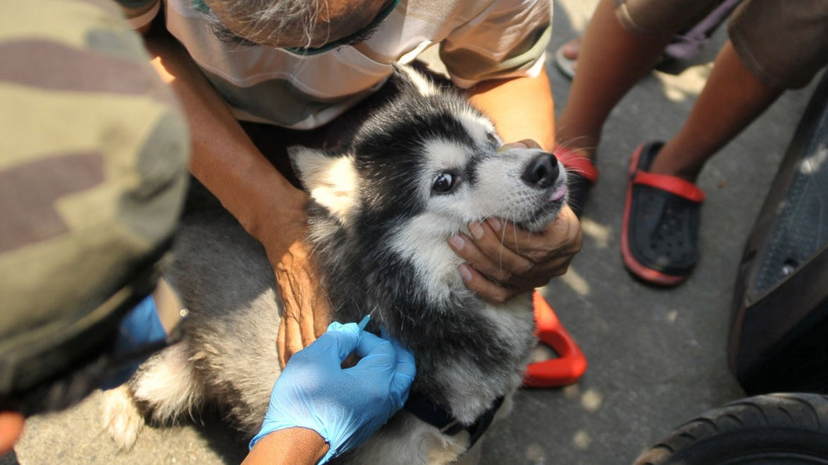 Dog receiving rabies vaccine by gloved hands