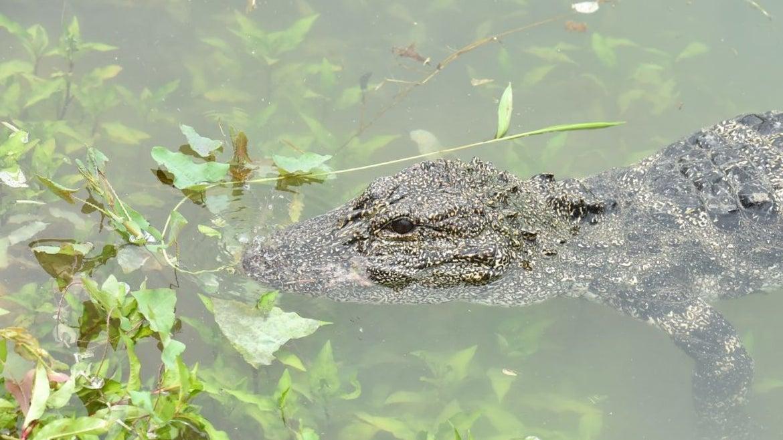 Alligator peeking above water