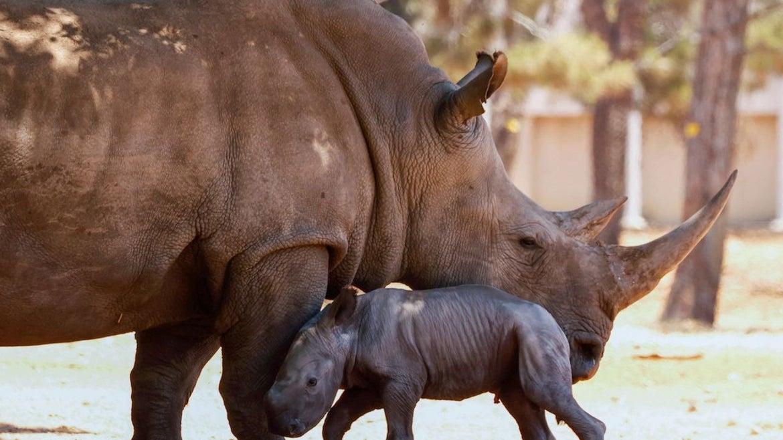 A newborn Rhinoceros stands next to her 11-year-old mother Rihanna, at the Ramat Gan Safari, an open-air zoo near the Israeli coastal city of Tel Aviv, on June 6, 2021.