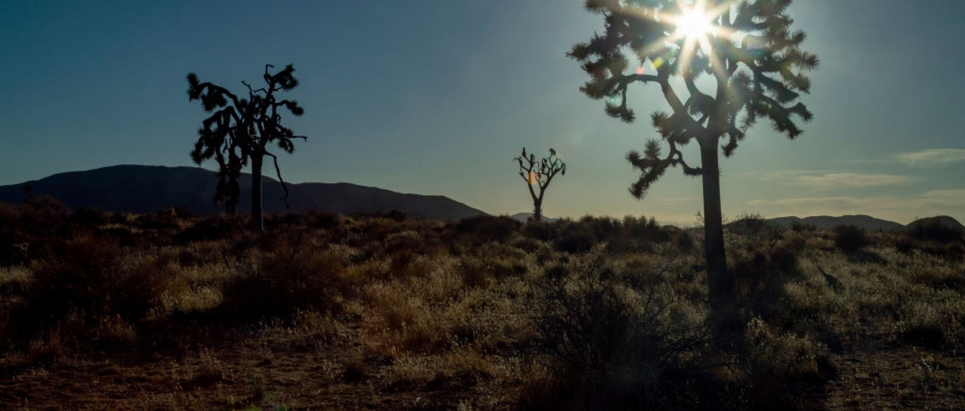 2 Joshua trees in California