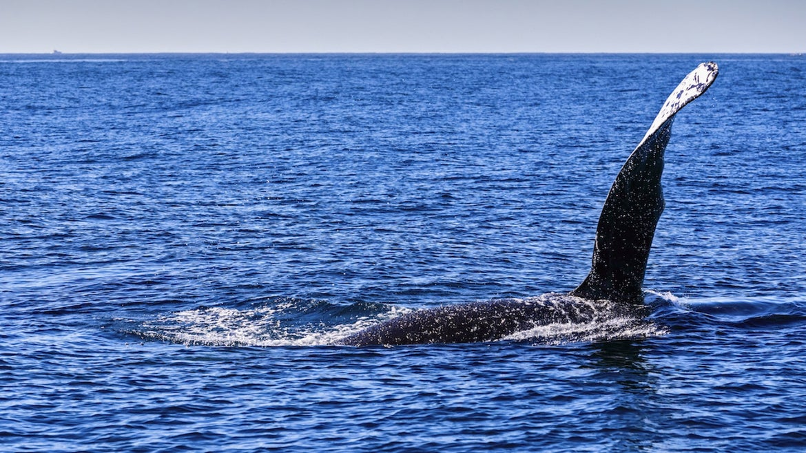 The fin of a humpback whale is spotted from Sunrider boat during a whale watching tour on January 10, 2021 in Cabo San Lucas, Mexico
