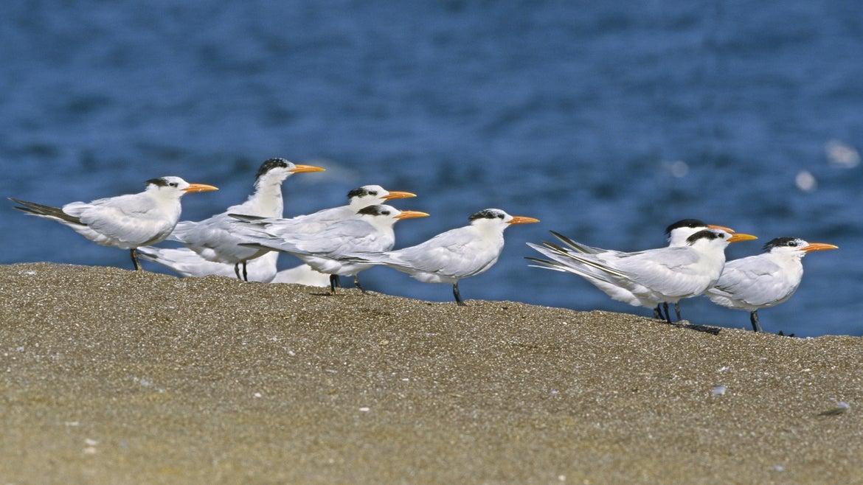 Gathering of adult elegant terns on sand
