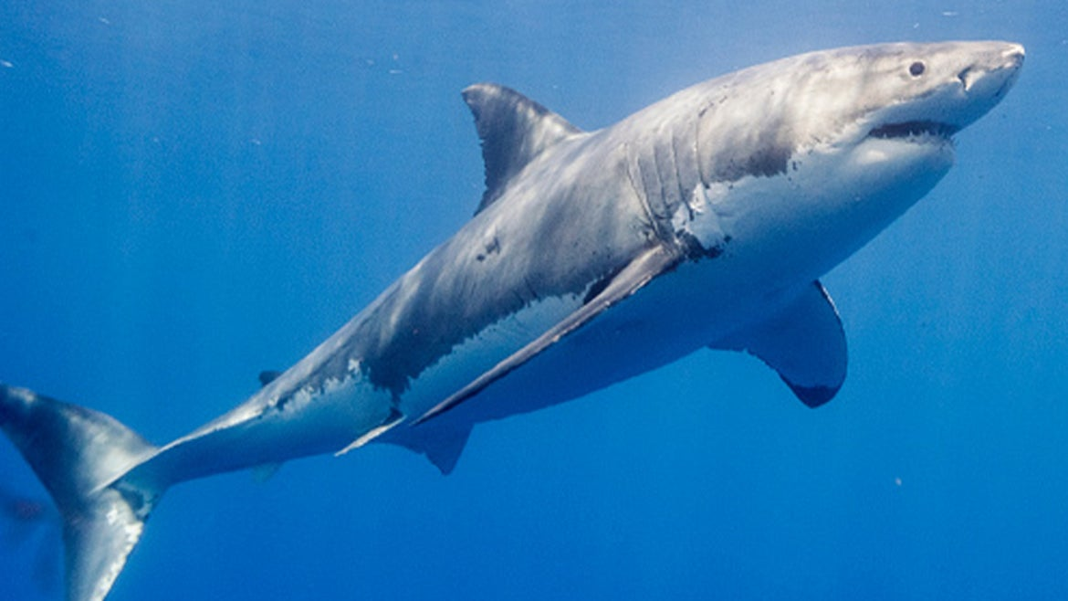 Great white shark swimming in Mexico.