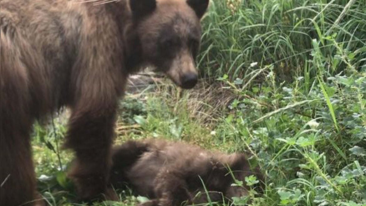 Mama bear won't leave her baby after cub was killed by speeding care at Yosemite.