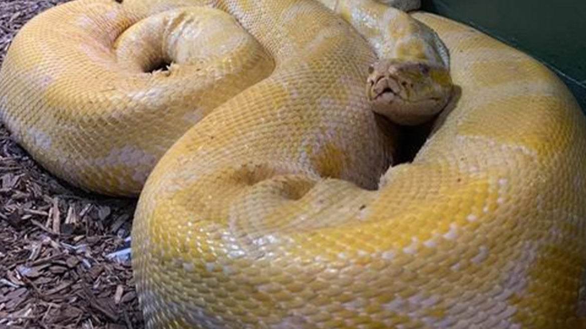 Cara, the 12-foot Burmese python that is on the loose.