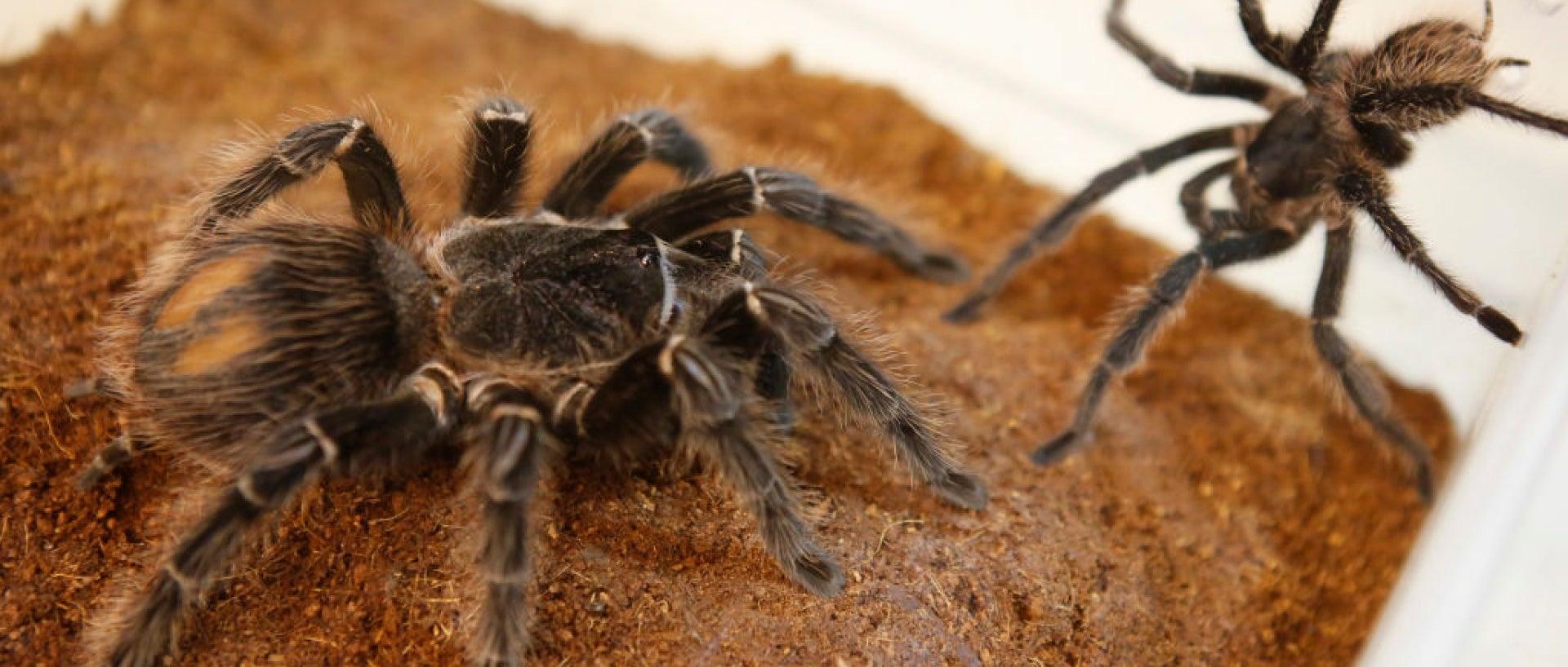 Two tarantulas