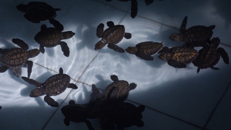 Baby hawksbill sea turtles swimming in water