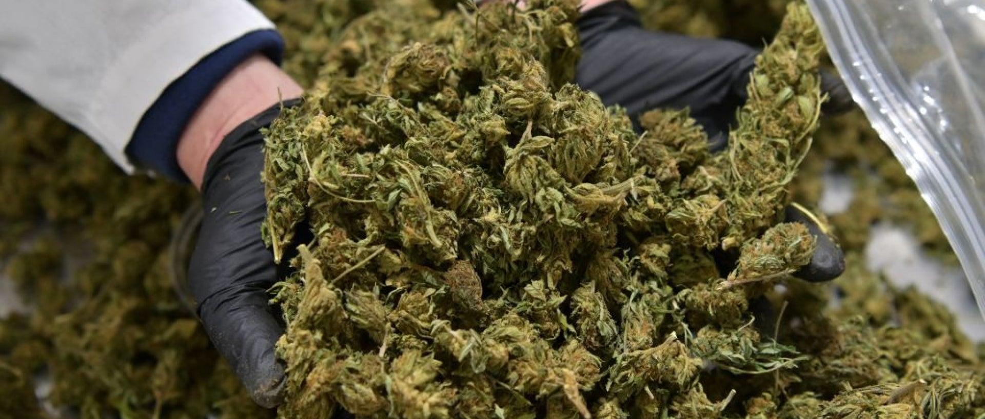 Gloved hands in bucket of harvested marijuana