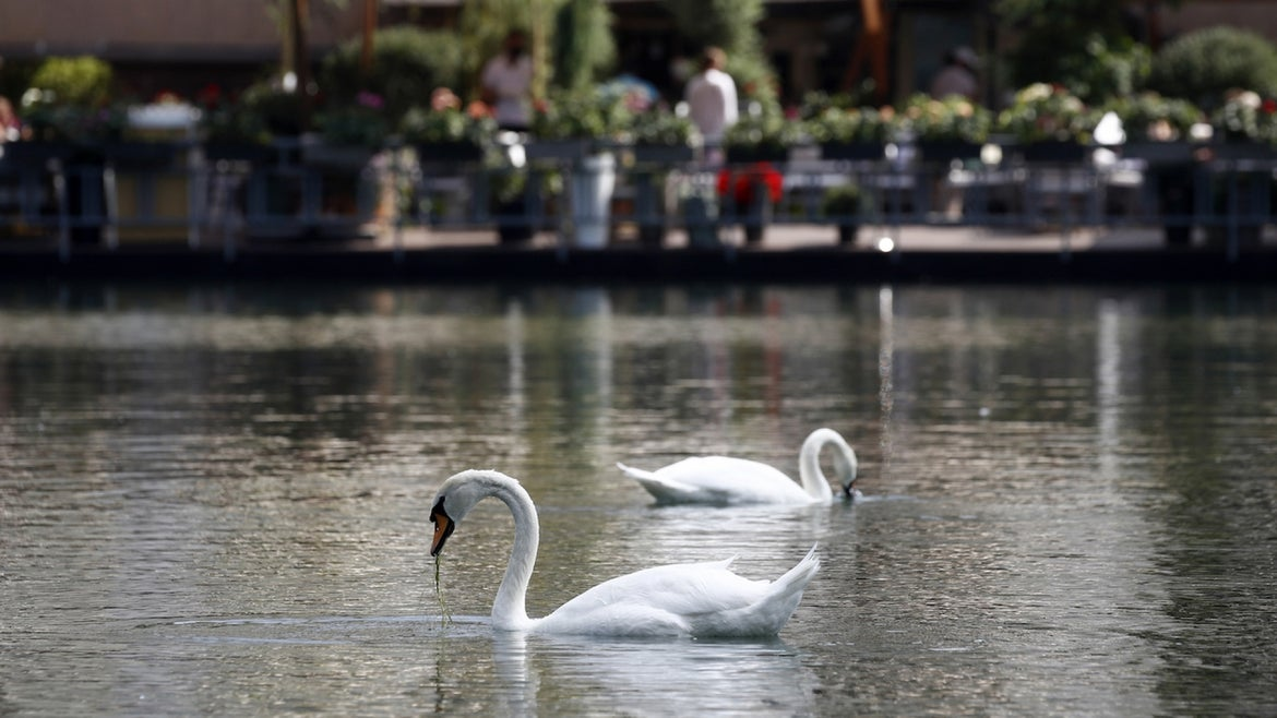 Swans on a pond in the Patriarch's Ponds neighbourhood in central Moscow.