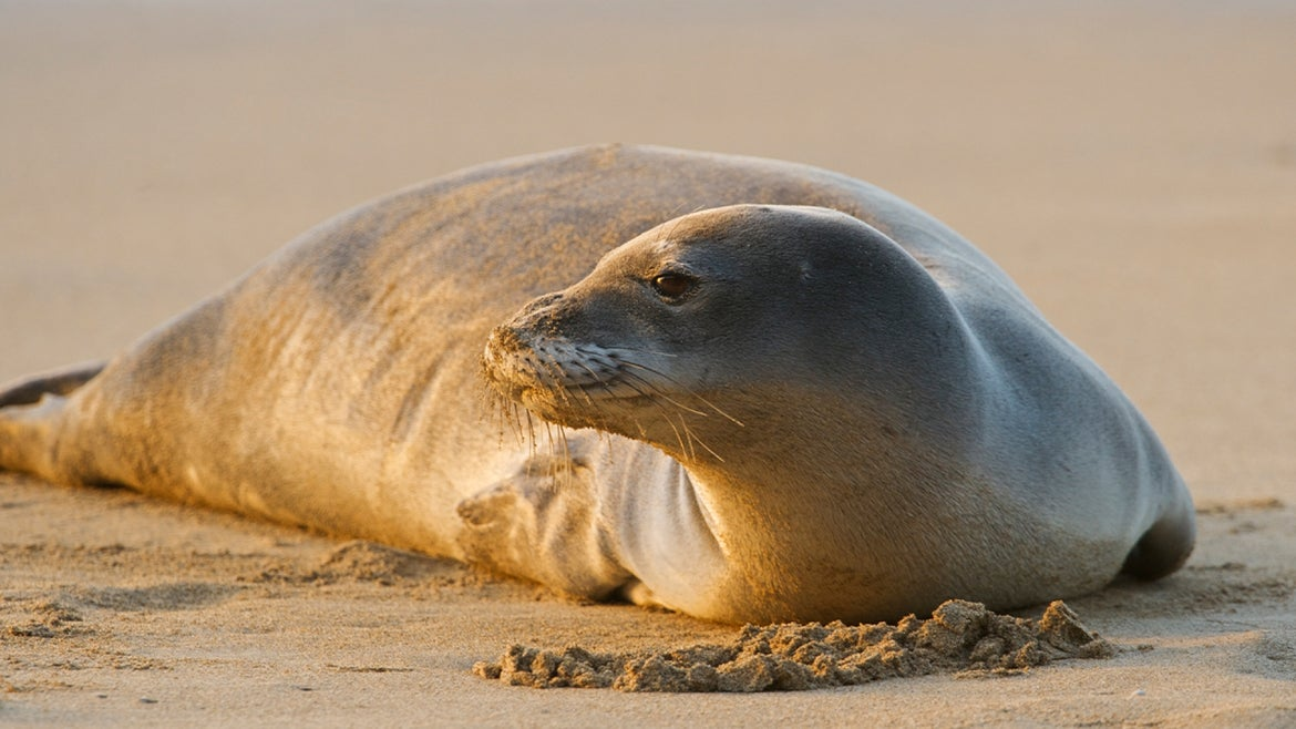 A stock image of a monk seal.