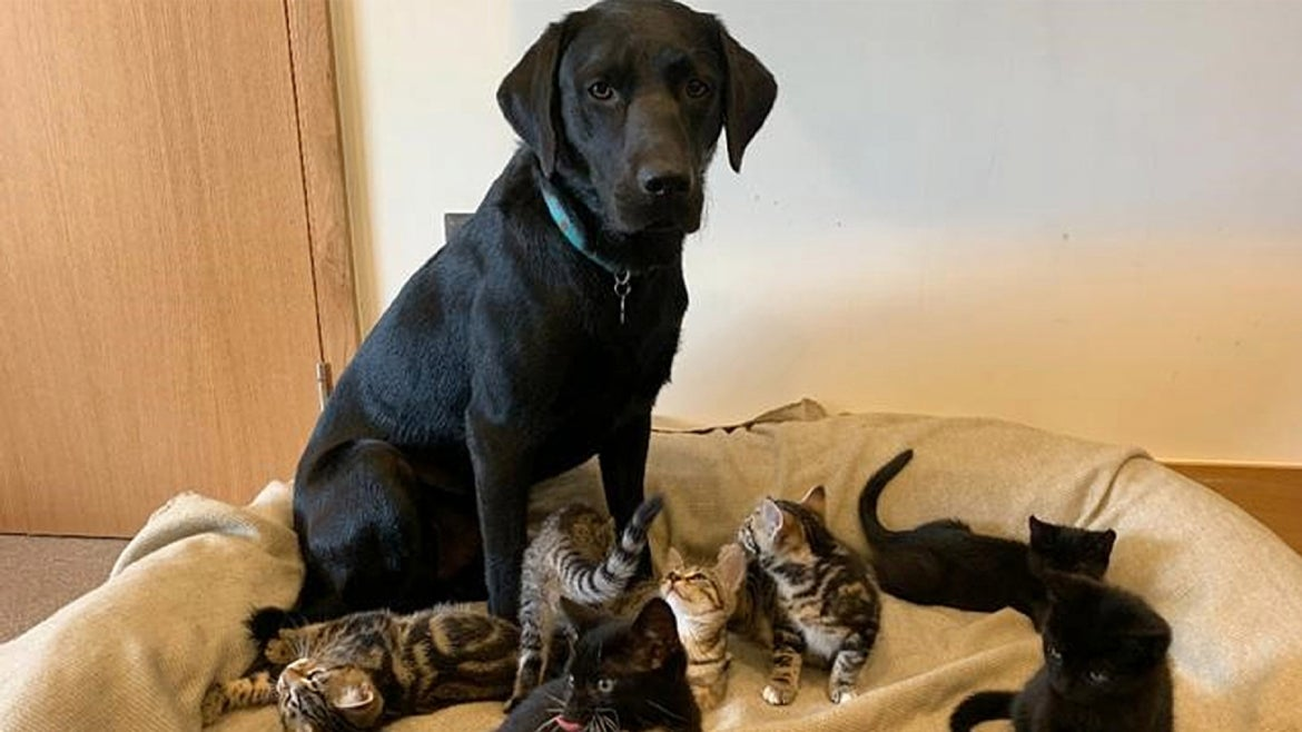 A one-year-old rescue dog named Bertie nurtured seven abandoned kittens back to health.