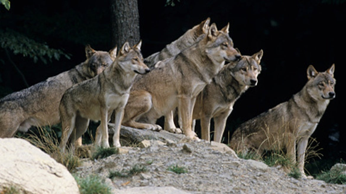 A stock image of a pack of gray wolves.