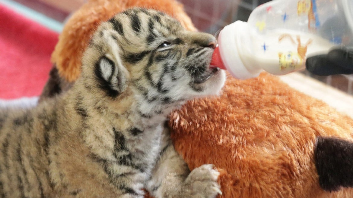 Photo of tiger cub drinking from a bottle