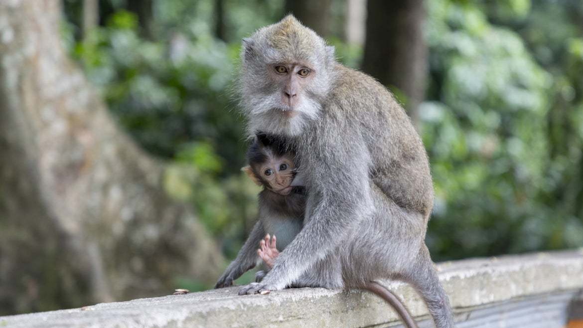 Two long tailed Balinese Macaque at Padangtegal Great Temple of Death in Bali, Indonesia on August 13, 2019.