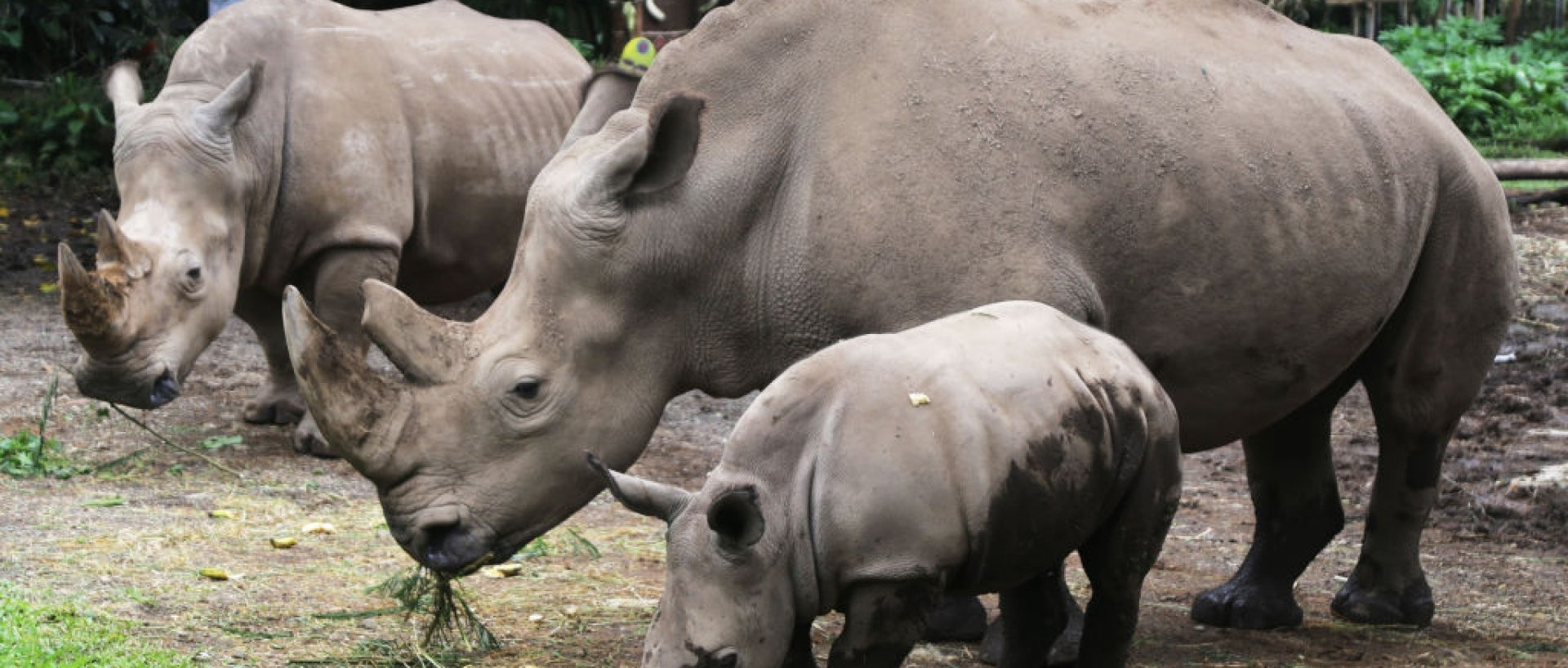 Baby white rhino in front of two adult rhinos