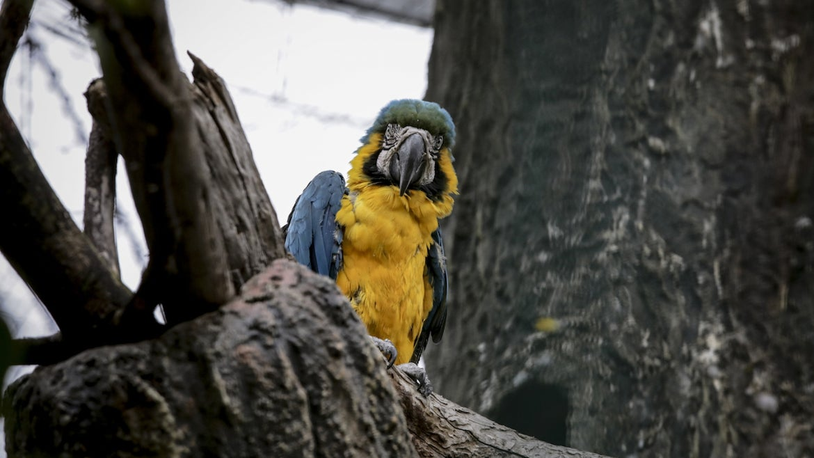 A Blue and yellow macaw (Ara Ararauna) rescued from illegal trafficking is seen at the Sabana Ecopark Natural Reserve in Tocancipa, Colombia on September 16, 2021.