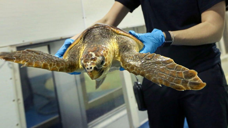 Rescued loggerhead sea turtle