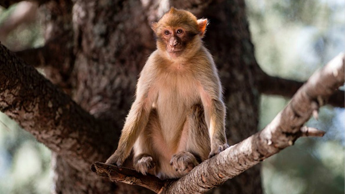A stock image of a macaque monkey that resembles the monkey that abducted the puppy in Malaysia.