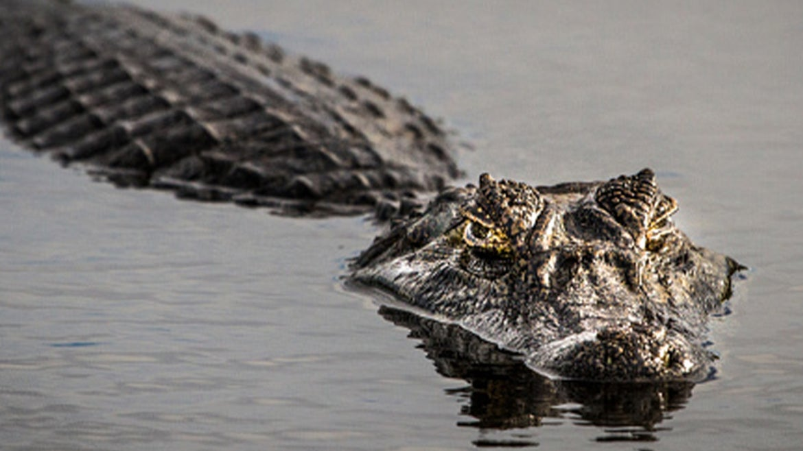 A stock image of an alligator in a body of water.
