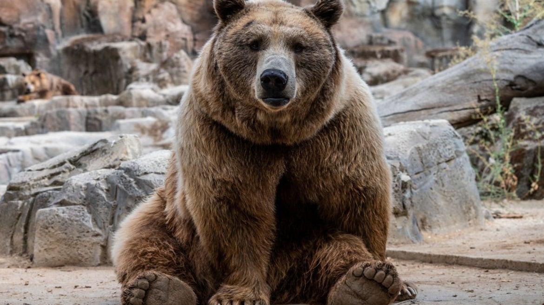 Brown bear near rocks