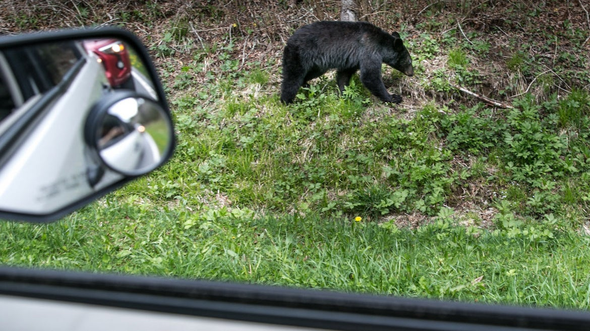 A black bear searches for food along the Tennessee border at Newfound Gap on May 11, 2018 near Cherokee, North Carolina. The Great Smoky Mountains National Park straddles the Tennessee and North Carolina borders in the heart of the Appalachian Mountain Range